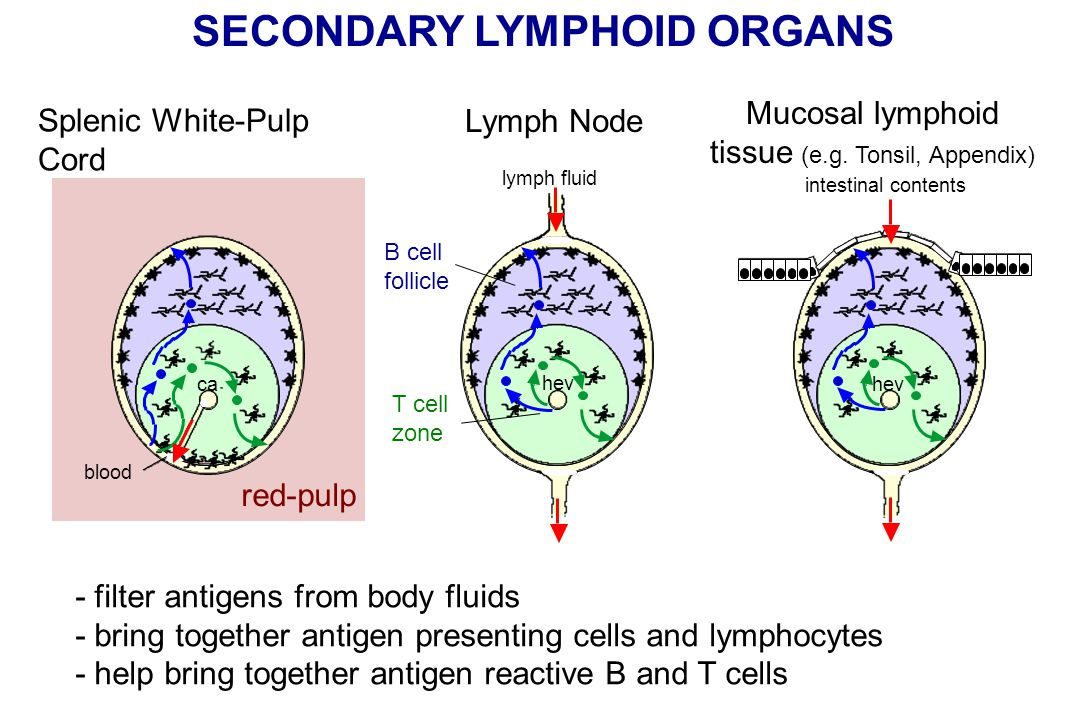SECONDARY LYMPHOID ORGANS B cell follicle T cell zone red-pulp Splenic White-Pulp Cord Lymph Node Mucosal lymphoid tissue (e.g.