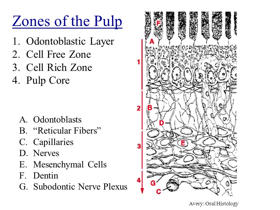 1.Odontoblastic Layer 2.Cell Free Zone 3.Cell Rich Zone 4.Pulp Core A.Odontoblasts B. Reticular Fibers C.Capillaries D.Nerves E.Mesenchymal Cells F.Dentin G.Subodontic Nerve Plexus Zones of the Pulp Avery: Oral Histology