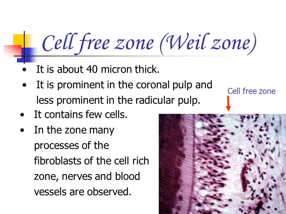 It is about 40 micron thick. It is prominent in the coronal pulp and less prominent in the radicular pulp. Cell free zone (Weil zone) Cell free zone I