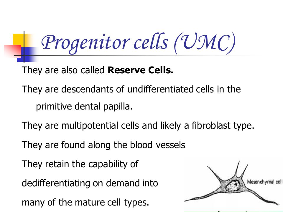 Progenitor cells (UMC) They are also called Reserve Cells. They are descendants of undifferentiated cells in the primitive dental papilla. They are mu