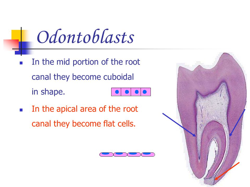 Odontoblasts In the mid portion of the root canal they become cuboidal in shape. In the apical area of the root canal they become flat cells.