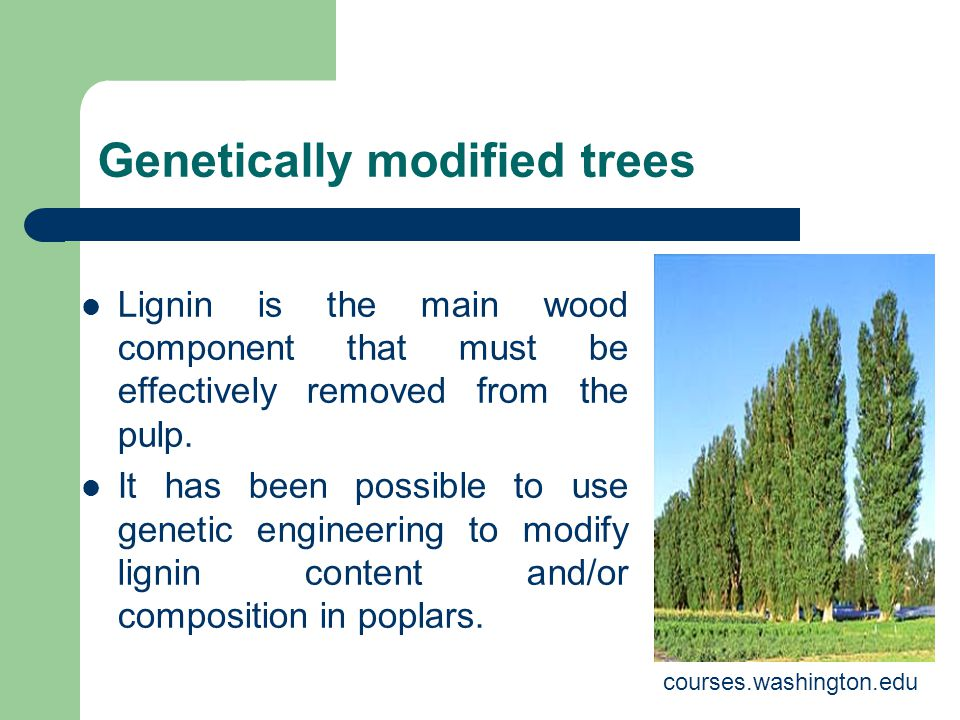 Genetically modified trees Lignin is the main wood component that must be effectively removed from the pulp.