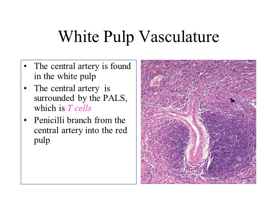 White Pulp Vasculature The central artery is found in the white pulp The central artery is surrounded by the PALS, which is T cells Penicilli branch f