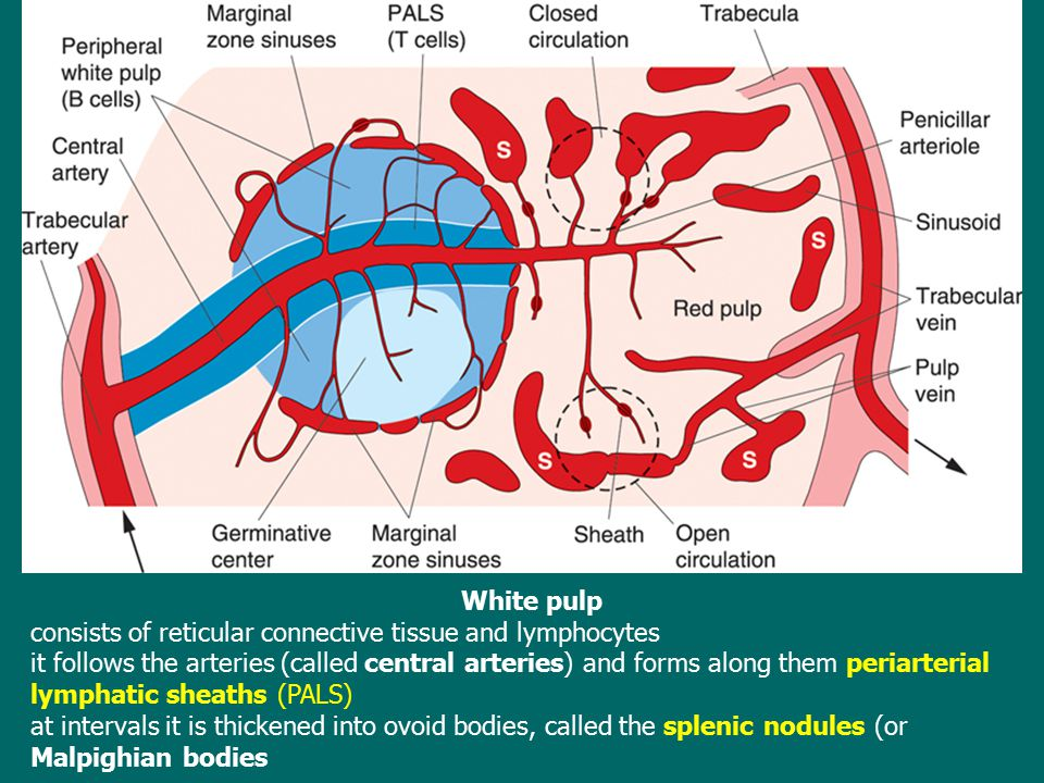 White pulp consists of reticular connective tissue and lymphocytes it follows the arteries (called central arteries) and forms along them periarterial
