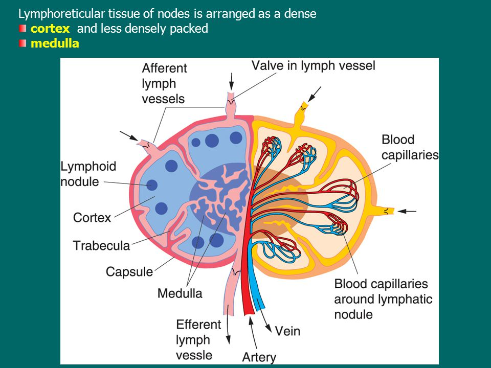 Lymphoreticular tissue of nodes is arranged as a dense cortex and less densely packed medulla