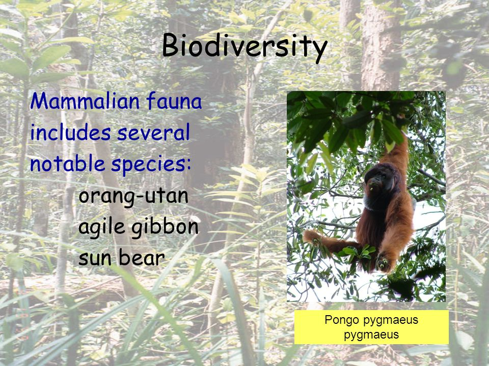 Biodiversity Mammalian fauna includes several notable species: orang-utan agile gibbon sun bear Pongo pygmaeus pygmaeus