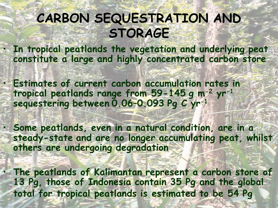 CARBON SEQUESTRATION AND STORAGE In tropical peatlands the vegetation and underlying peat constitute a large and highly concentrated carbon store Estimates of current carbon accumulation rates in tropical peatlands range from 59-145 g m -2 yr -1 sequestering between 0.06–0.093 Pg C yr -1 Some peatlands, even in a natural condition, are in a steady-state and are no longer accumulating peat, whilst others are undergoing degradation The peatlands of Kalimantan represent a carbon store of 13 Pg, those of Indonesia contain 35 Pg and the global total for tropical peatlands is estimated to be 54 Pg