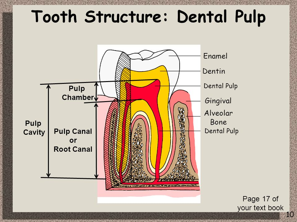10 Tooth Structure: Dental Pulp Pulp Chamber Pulp Canal or Root Canal Pulp Cavity Enamel Dentin Dental Pulp Alveolar Bone Gingival Dental Pulp Page 17