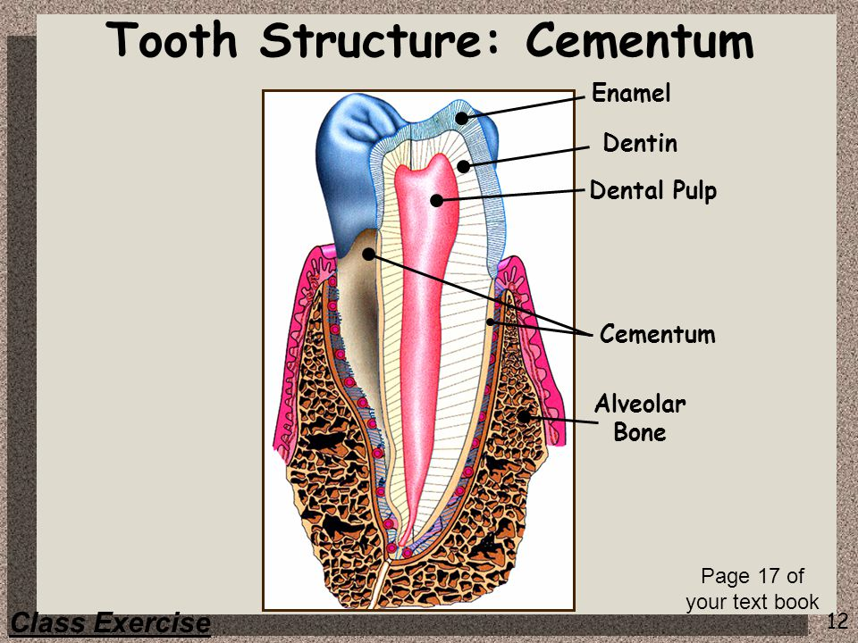 12 Enamel Dentin Dental Pulp Cementum Tooth Structure: Cementum Class Exercise Page 17 of your text book Alveolar Bone