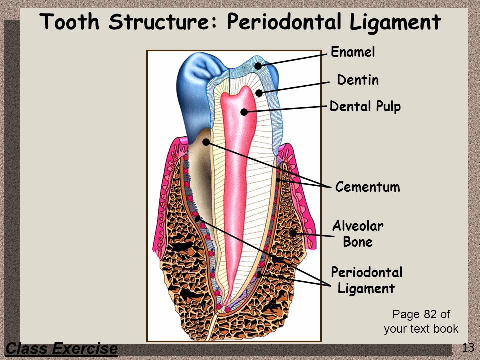 13 Enamel Dentin Dental Pulp Periodontal Ligament Cementum Alveolar Bone Class Exercise Tooth Structure: Periodontal Ligament Page 82 of your text boo