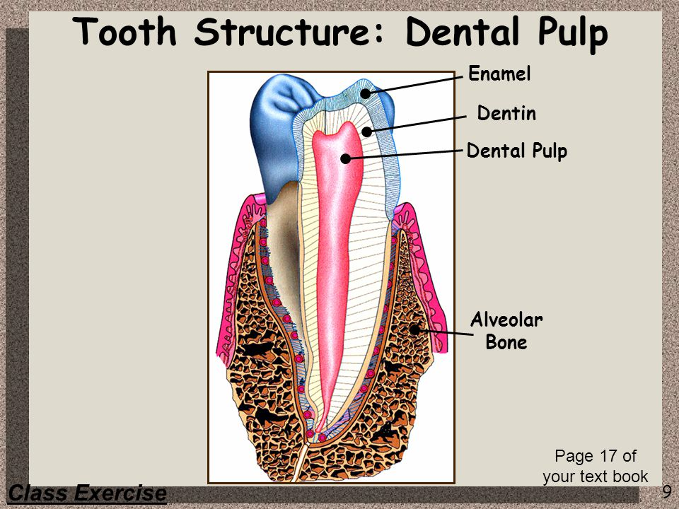 9 Enamel Dentin Dental Pulp Tooth Structure: Dental Pulp Class Exercise Page 17 of your text book Alveolar Bone