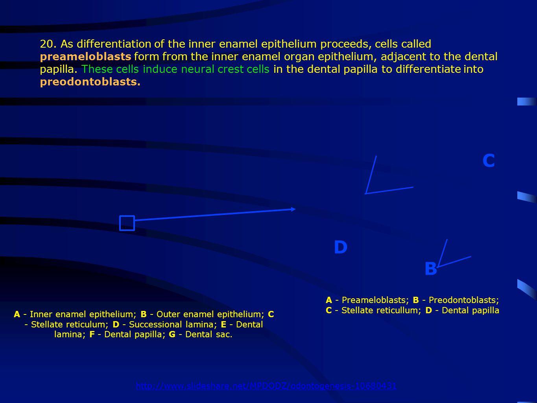 A - Inner enamel epithelium; B - Outer enamel epithelium; C - Stellate reticulum; D - Successional lamina; E - Dental lamina; F - Dental papilla; G - Dental sac.