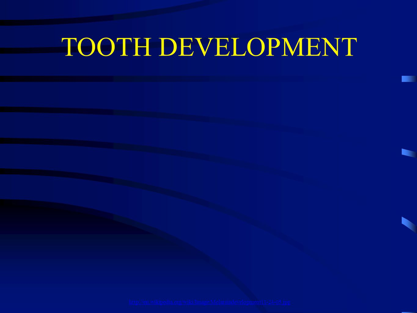 TOOTH DEVELOPMENT http://en.wikipedia.org/wiki/Image:Molarsindevelopment11-24-05.jpg