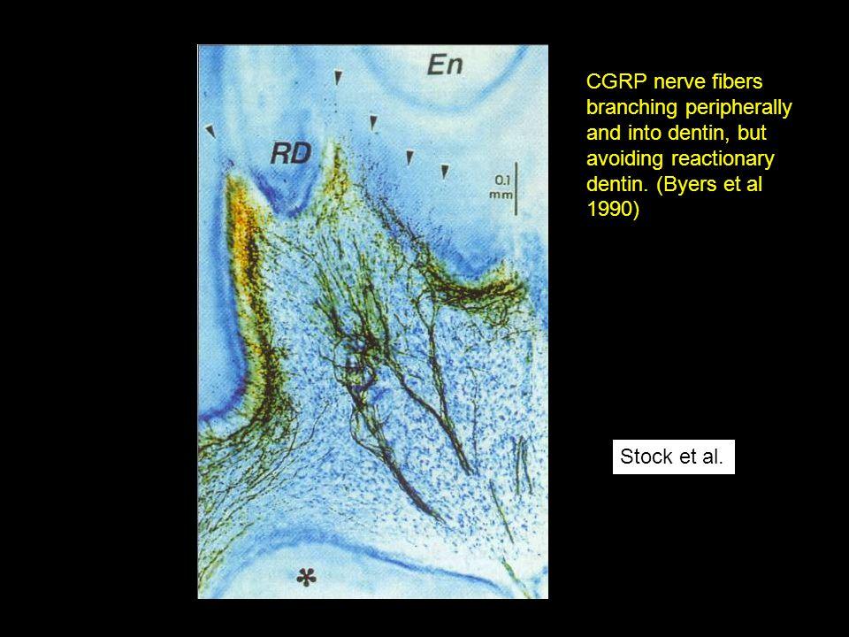 Stock et al. CGRP nerve fibers branching peripherally and into dentin, but avoiding reactionary dentin. (Byers et al 1990)
