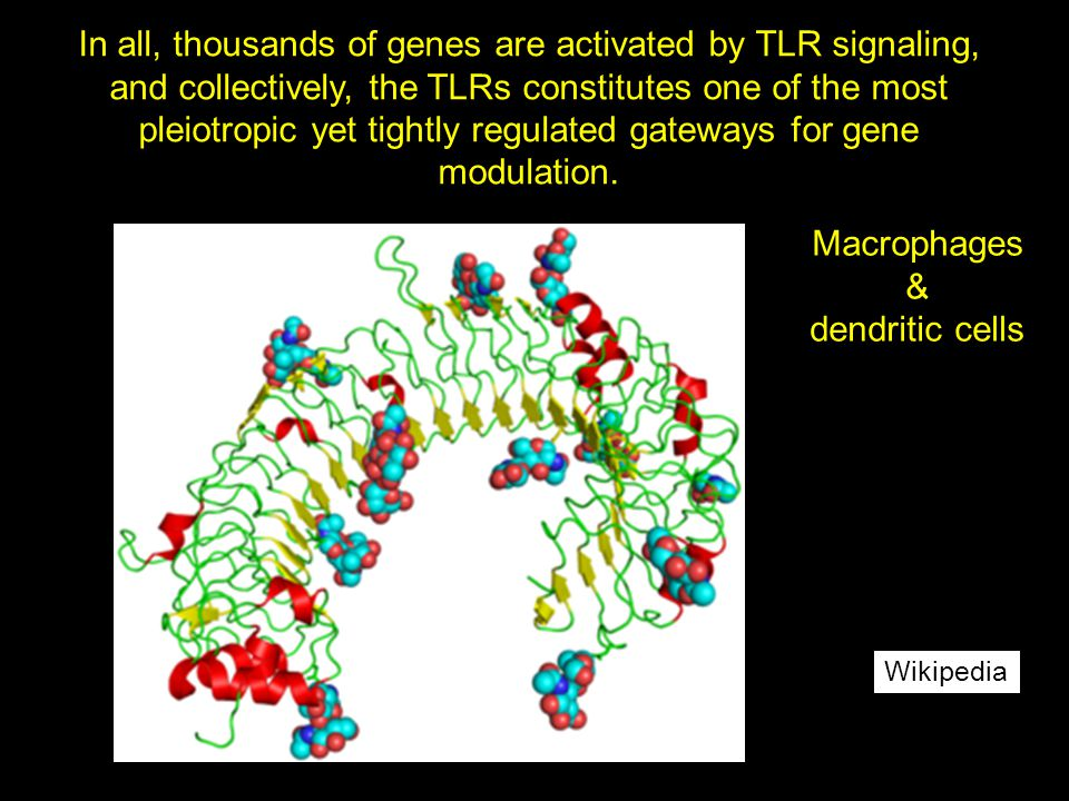 Wikipedia In all, thousands of genes are activated by TLR signaling, and collectively, the TLRs constitutes one of the most pleiotropic yet tightly re