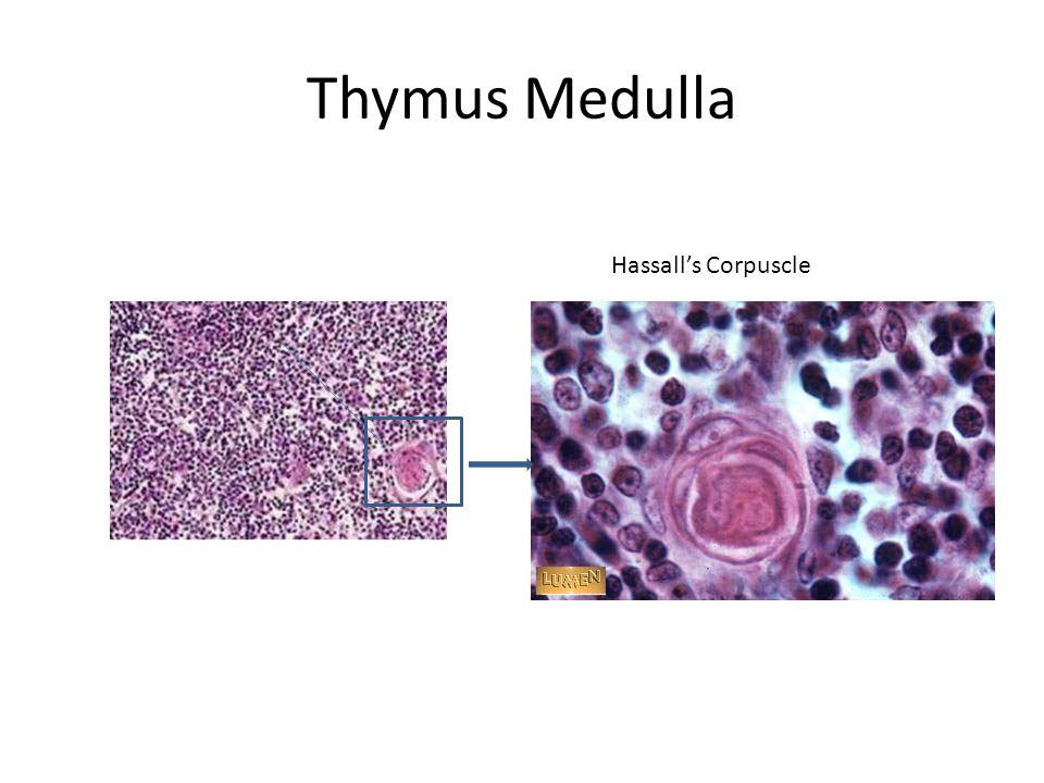 Thymus Medulla Hassall's Corpuscle