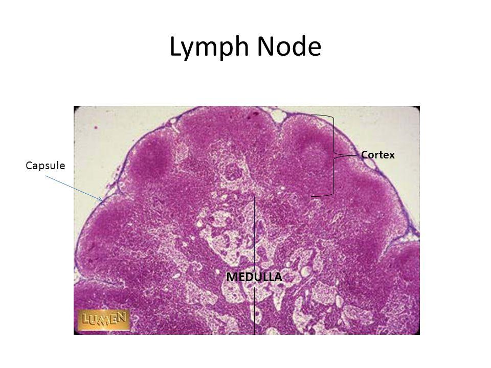 Lymph Node Capsule Cortex MEDULLA