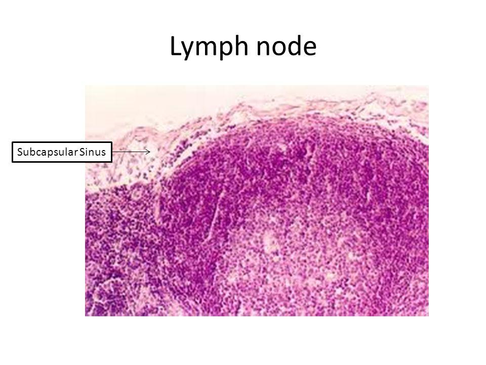 Lymph node Subcapsular Sinus