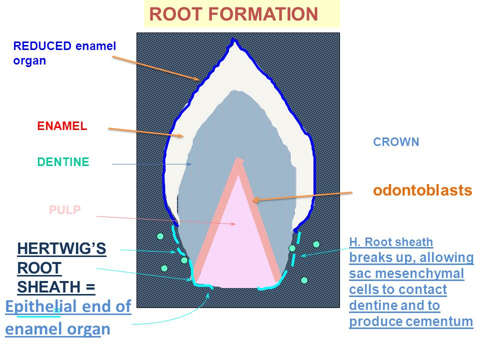 ENAMEL REDUCED enamel organ HERTWIG'S ROOT SHEATH = = DENTINE PULP Epithelial end of enamel organ CROWN odontoblasts ROOT FORMATION H.
