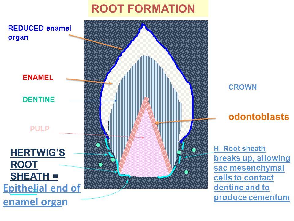 ENAMEL REDUCED enamel organ HERTWIG'S ROOT SHEATH = = DENTINE PULP Epithelial end of enamel organ CROWN odontoblasts ROOT FORMATION H. Root sheath bre