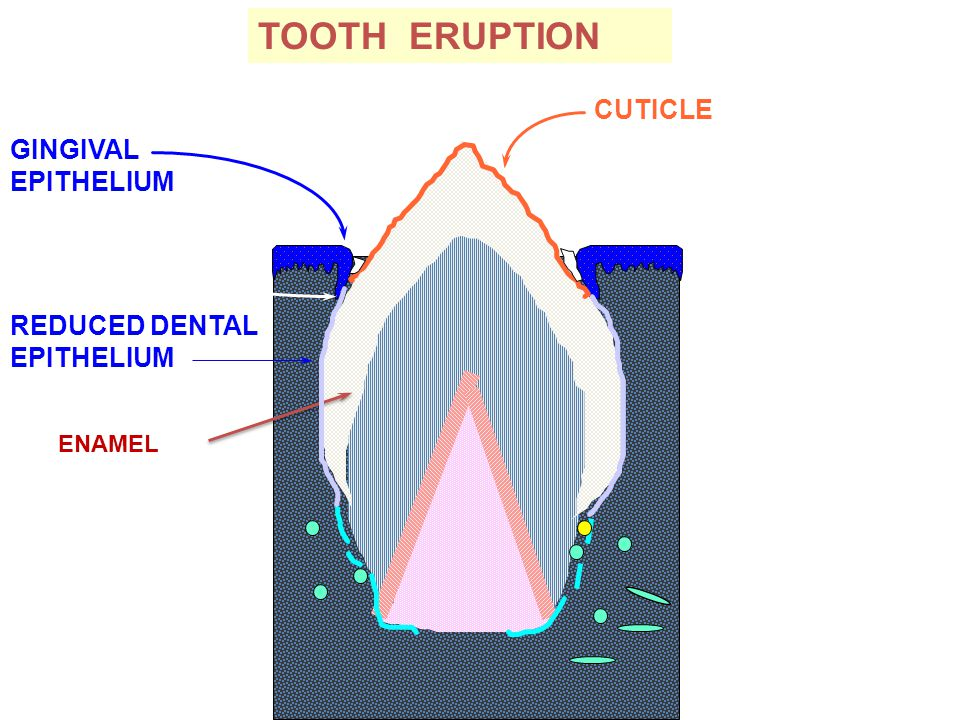 ENAMEL REDUCED DENTAL EPITHELIUM TOOTH ERUPTION GINGIVAL EPITHELIUM still fusing with CUTICLE will wear away