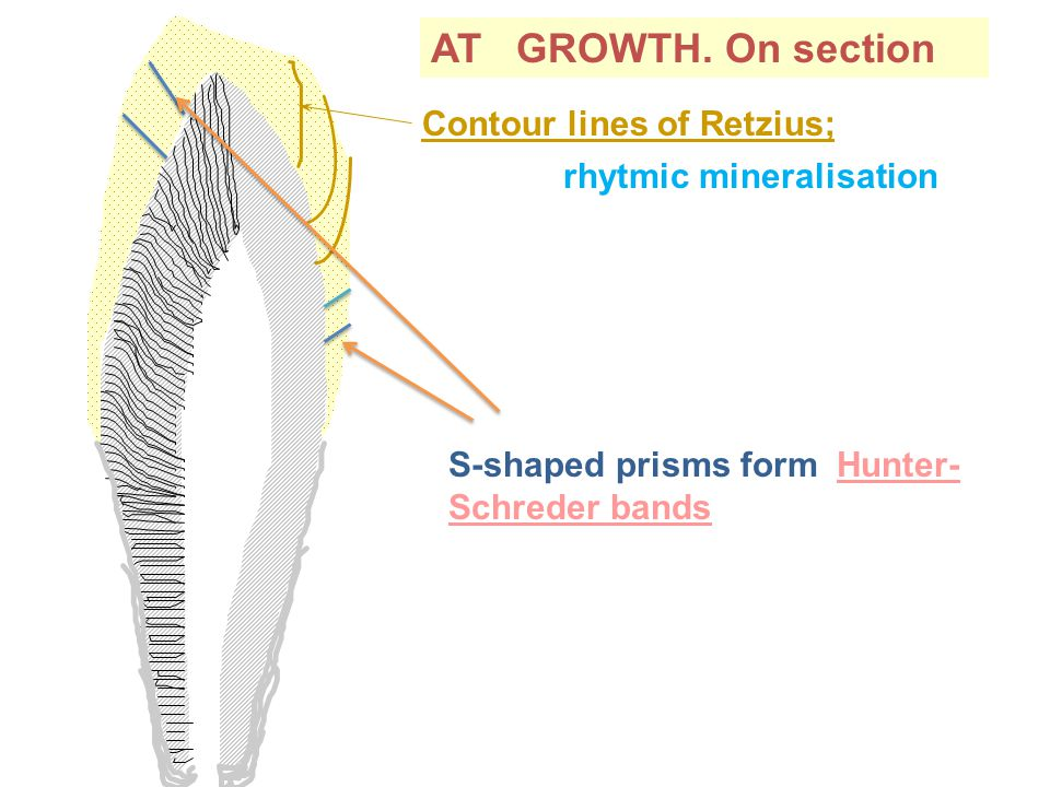 AT GROWTH. On section Contour lines of Retzius; rhytmic mineralisation S-shaped prisms form Hunter- Schreder bands