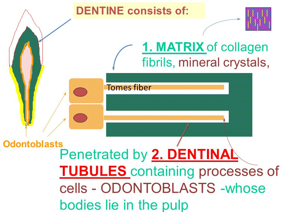 Odontoblasts DENTINE consists of: 1. MATRIX of collagen fibrils, mineral crystals, Penetrated by 2.