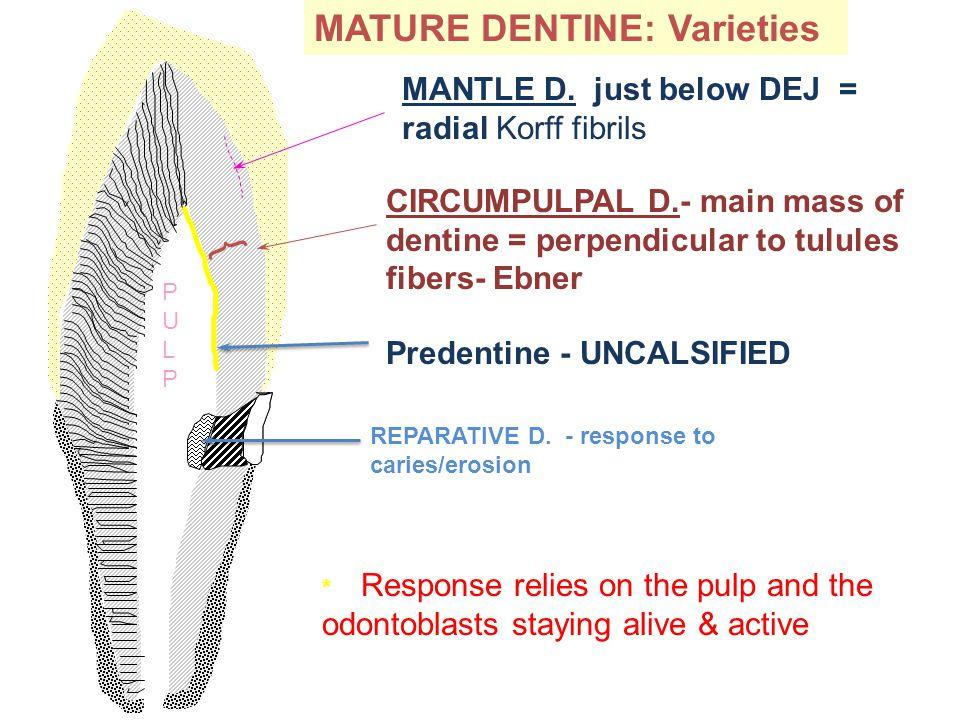 PULPPULP MATURE DENTINE: Varieties MANTLE D.