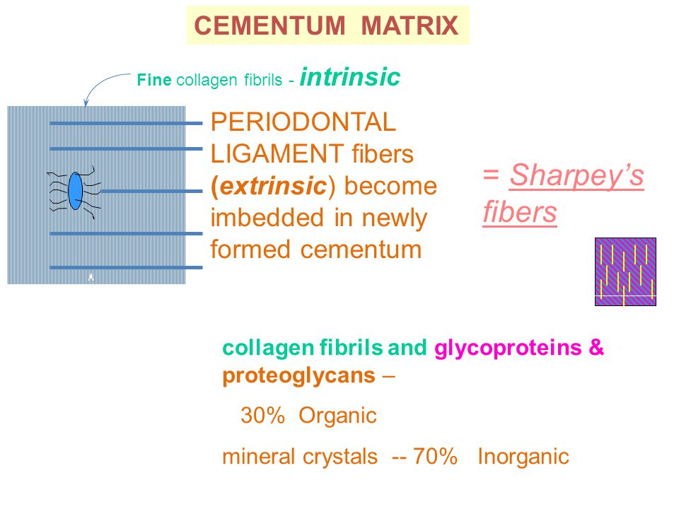 PERIODONTAL LIGAMENT fibers (extrinsic) become imbedded in newly formed cementum CEMENTUM MATRIX Fine collagen fibrils - intrinsic MATRIX PROPORTIONS