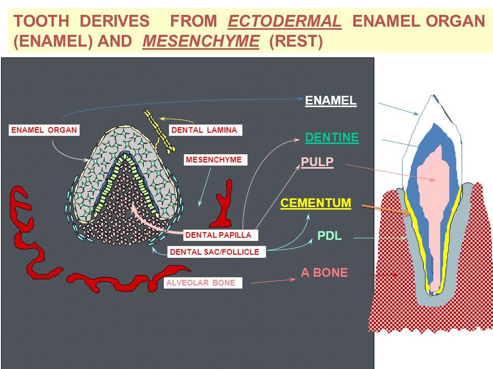 TOOTH DERIVES FROM ECTODERMAL ENAMEL ORGAN (ENAMEL) AND MESENCHYME (REST) DENTAL LAMINA DENTAL PAPILLA DENTAL SAC/FOLLICLE ENAMEL ORGAN MESENCHYME ALV