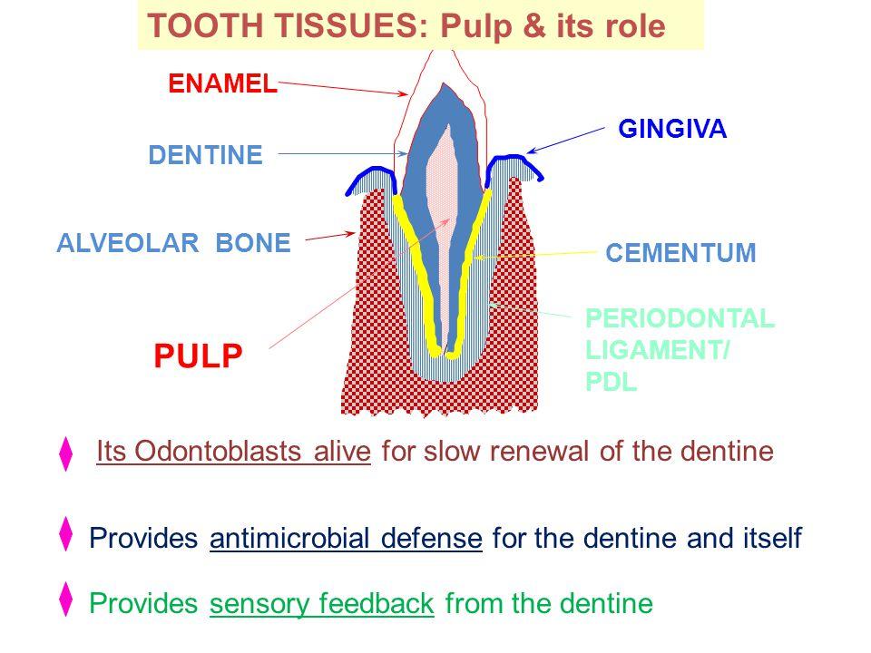 PULP DENTINE ENAMEL CEMENTUM PERIODONTAL LIGAMENT/ PDL ALVEOLAR BONE GINGIVA Its Odontoblasts alive for slow renewal of the dentine Provides antimicro