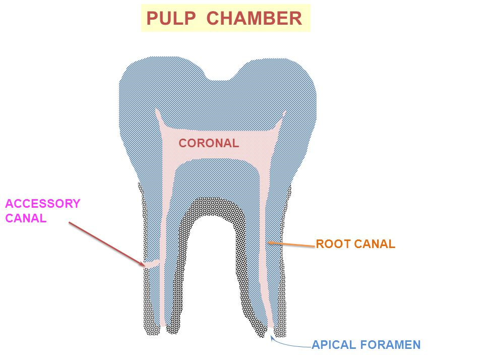 PULP CHAMBER CORONAL ACCESSORY CANAL ROOT CANAL APICAL FORAMEN