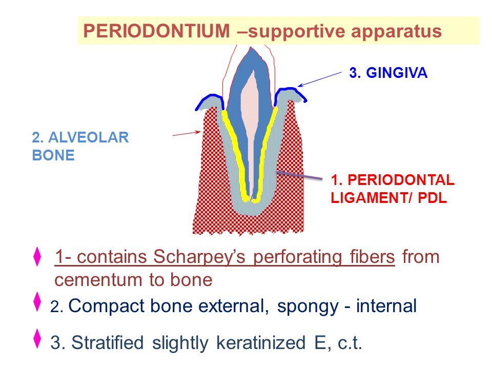 ENAMEL 1. PERIODONTAL LIGAMENT/ PDL 2. ALVEOLAR BONE 3. GINGIVA 1- contains Scharpey's perforating fibers from cementum to bone 2. Compact bone extern