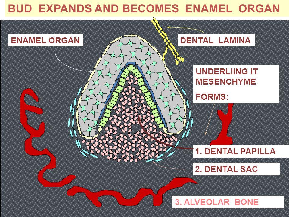 BUD EXPANDS AND BECOMES ENAMEL ORGAN DENTAL LAMINA 1. DENTAL PAPILLA 2. DENTAL SAC ENAMEL ORGAN UNDERLIING IT MESENCHYME FORMS: 3. ALVEOLAR BONE