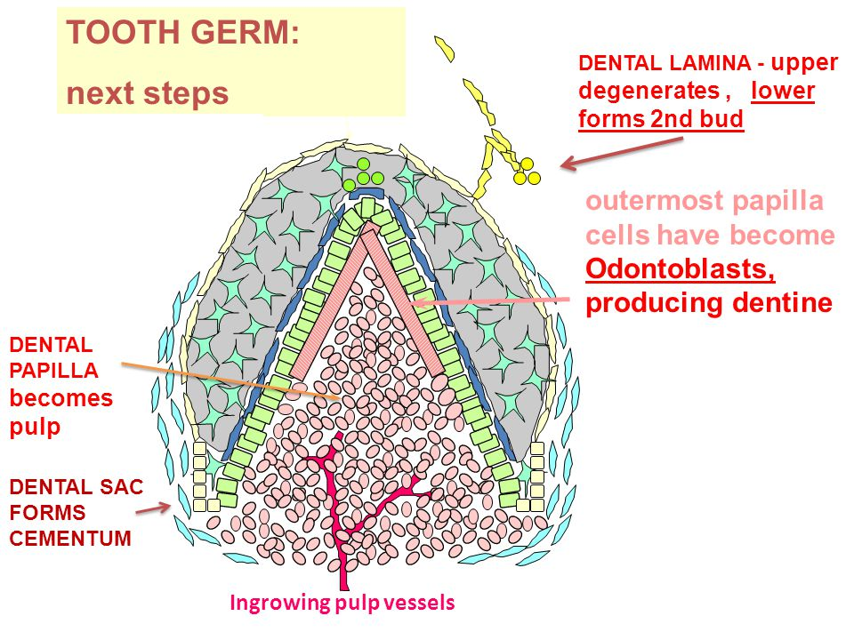 TOOTH GERM: next steps DENTAL LAMINA - upper degenerates, lower forms 2nd bud DENTAL PAPILLA becomes pulp DENTAL SAC FORMS CEMENTUM outermost papilla cells have become Odontoblasts, producing dentine Ingrowing pulp vessels