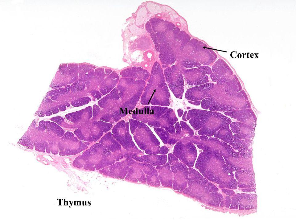 Thymus Cortex Medulla
