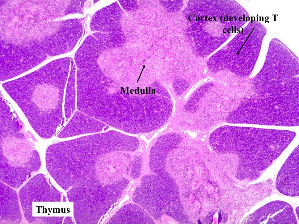 Thymus Cortex (developing T cells) Medulla