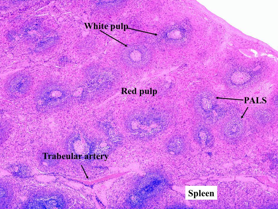Red pulp White pulp PALS Trabeular artery