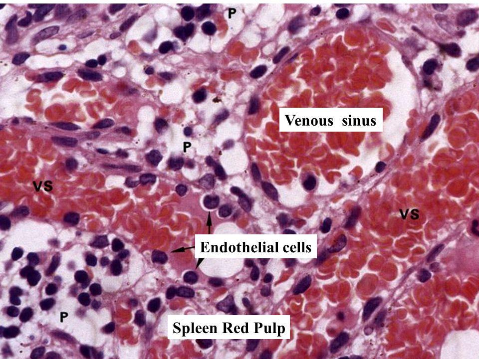 Spleen Red Pulp Endothelial cells Venous sinus