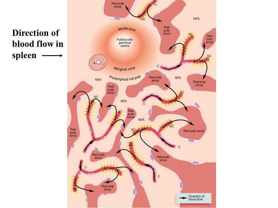 Direction of blood flow in spleen
