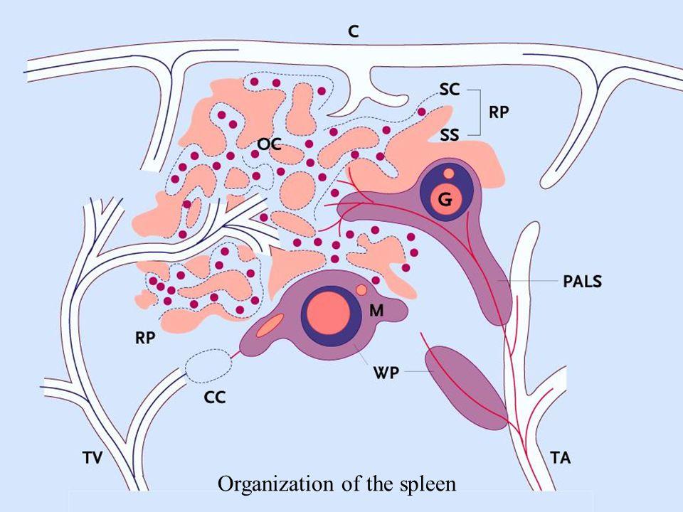 Organization of the spleen