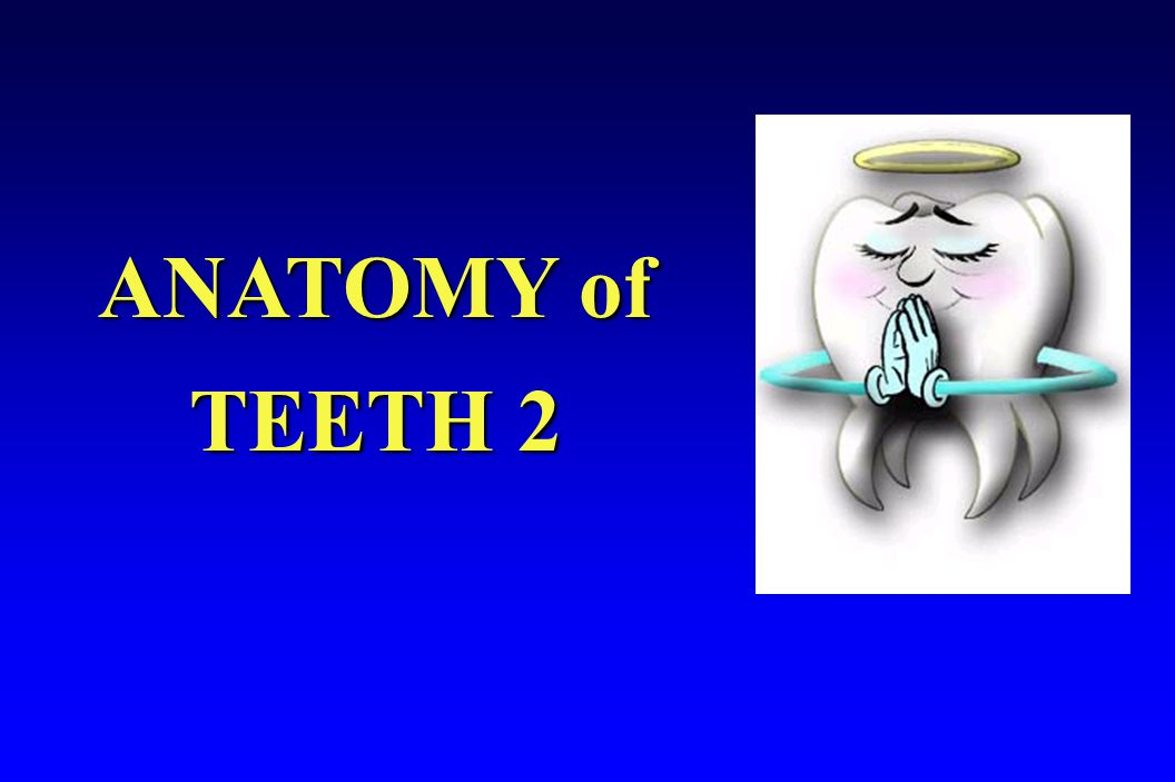 ANATOMY of TEETH 2