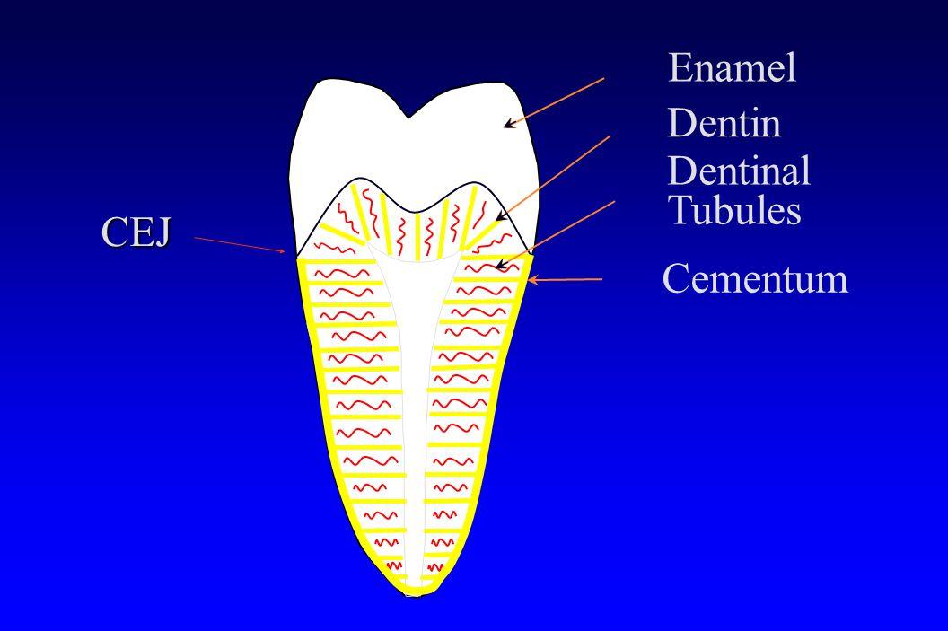 Dentin Enamel Dentinal Tubules Cementum CEJ