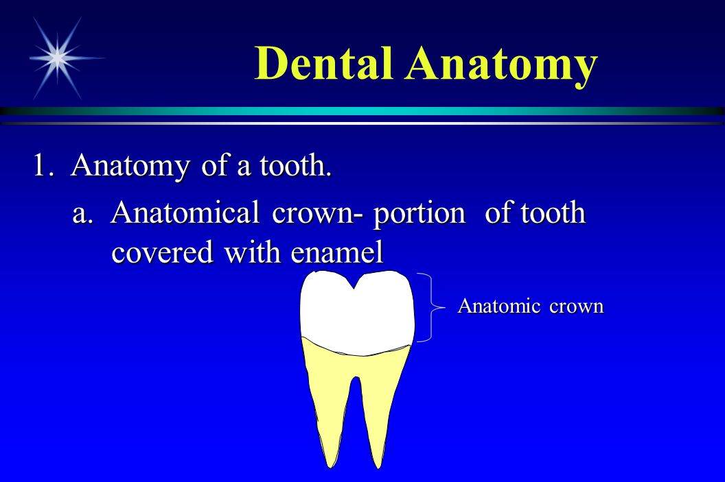 1. Anatomy of a tooth. a. Anatomical crown- portion of tooth covered with enamel a. Anatomical crown- portion of tooth covered with enamel Dental Anat