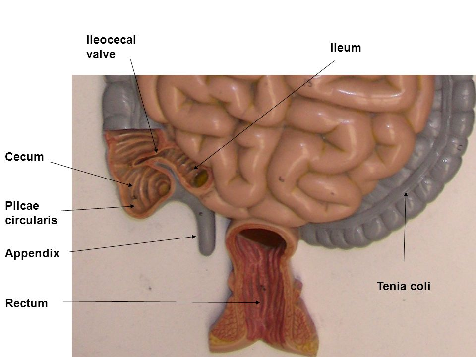 Ileum Cecum Ileocecal valve Appendix Tenia coli Rectum Plicae circularis