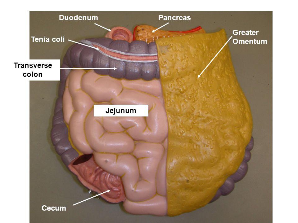 Greater Omentum Tenia coli Cecum PancreasDuodenum Jejunum Transverse colon
