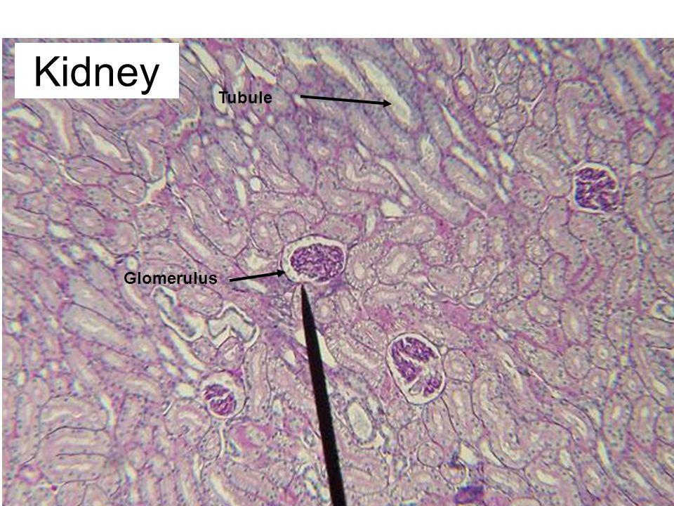 Glomerulus Tubule Kidney
