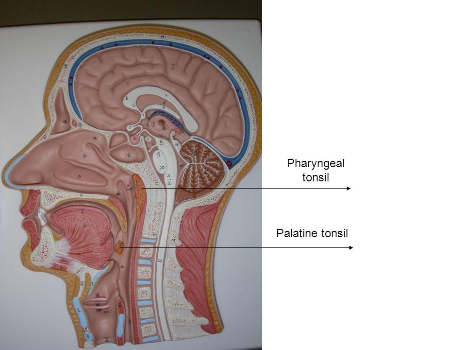 Pharyngeal tonsil Palatine tonsil
