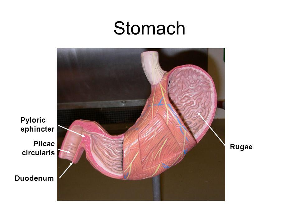 Stomach Pyloric sphincter Duodenum Rugae Plicae circularis