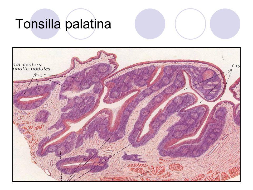 Tonsilla palatina